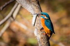 Zimorodek je pięknego kolor błękitnego i brown Obrazy Stock