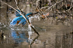 Zimorodek je pięknego kolor błękitnego i brown Zdjęcie Stock