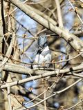 Zimorodek w Drzewny Obserwować Obrazy Royalty Free