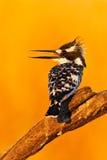 Zimorodek z pięknym pomarańczowym słońcem Pied zimorodek, Ceryle rudis, czarny i biały ptasi obsiadanie w gałąź podczas wschodu s Fotografia Royalty Free