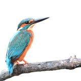 Zimorodka ptak Zdjęcie Royalty Free