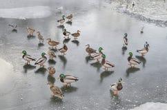 Zimove鸟 在池塘冰的很多野鸭 Globa公园在河 免版税库存图片