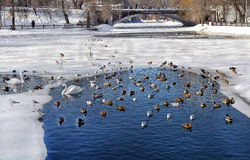 Zimove fåglar i stad parkerar Arkivbilder