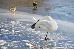 Zimovevogels Zwaan die zich op één been op het ijs bevinden Stock Foto's