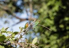 Zimt-Adlerfarn-Trällerer Bradypterus-cinnamomeus in Tansania Lizenzfreie Stockfotografie