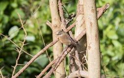 Zimt-Adlerfarn-Trällerer Bradypterus-cinnamomeus in Tansania Stockfotografie