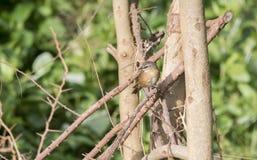 Zimt-Adlerfarn-Trällerer Bradypterus-cinnamomeus in Tansania Stockbild