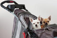 Zimt und weiße Chihuahua sitzen im bequemen Haustierstr Lizenzfreie Stockfotos