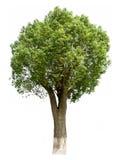 Zimtbaum camphora (L.) Presl Lizenzfreies Stockfoto