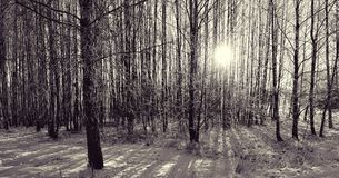 Zimy światło słoneczne w drewnach Zdjęcie Stock