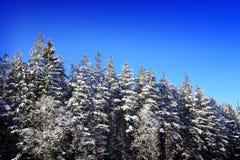 Zimy świerczyny las obrazy royalty free