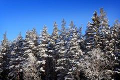 Zimy świerczyny las fotografia stock