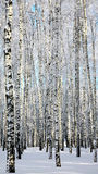 Zimy birchwood Obrazy Royalty Free