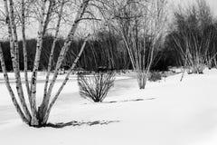 Zimy brzoza Zdjęcie Stock
