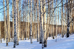 Zimy brzozy krajobrazowy gaj w zimie na jasnym słonecznym dniu w w Zdjęcie Stock