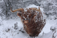 Zimy bydło Obrazy Royalty Free