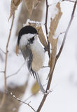 Zimy Chickadee Obrazy Royalty Free