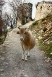 Zimy chuderlawa krowa, biedna krowa Zdjęcie Stock