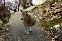 Zimy chuderlawa krowa, biedna krowa Obrazy Stock