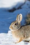 Zimy Cottontail królik Zdjęcie Royalty Free