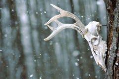 Zimy czaszka Obraz Stock