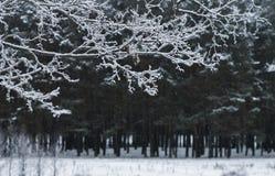 Zimy gałąź Zdjęcia Royalty Free