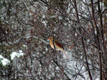 Zimy gracja Zdjęcie Stock