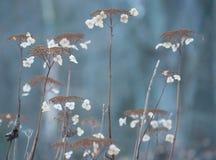 Zimy hortensja fotografia stock