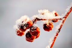 Zimy jagoda Zdjęcie Stock