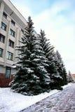 Zimy jedlinowego drzewa światło słoneczne Obraz Stock