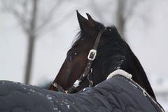 Zimy koński przyglądający z powrotem Fotografia Royalty Free