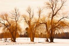 Zimy kolor żółty wierzby Zdjęcie Royalty Free
