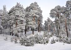Zimy kraina cudów w śnieg zakrywającym lesie Zdjęcia Stock