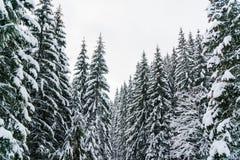 Zimy krainy cudów krajobraz z śnieżnymi jedlinowego drzewa wierzchołkami Obraz Royalty Free
