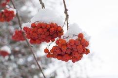 Zimy krajobrazowa czerwona jagoda w śniegu Obraz Royalty Free