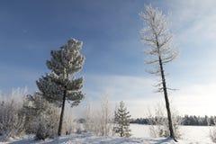 Zimy krajobrazowa Syberyjska sosna w hoarfrost Obrazy Royalty Free