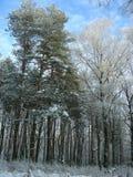 Zimy las, sosna i brzoza w śniegu, Fotografia Royalty Free