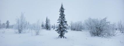 Zimy lasowej panoramy świerkowy hoarfrost czarny i biały Obraz Stock