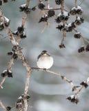 Zimy Mockingbird Zdjęcia Royalty Free