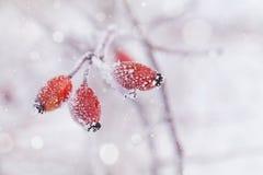 Zimy naturalny tło od czerwonej jagody zakrywającej z hoarfrost lub oszrania Zimna ranek scena natura Obraz Stock