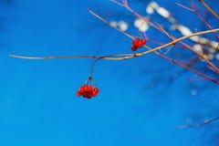 Zimy nieba błękita krajobrazowi śnieżni lasowi drzewa w górę końcówki wiosny początku Marzec zdjęcia stock