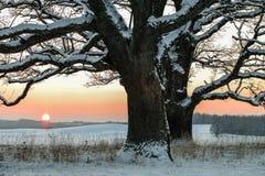 Zimy pole i dwa dębowego drzewa przy zmierzchem Fotografia Royalty Free