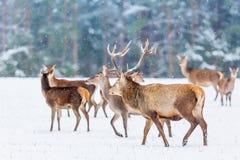 Zimy przyrody krajobraz z szlachetnym deers Cervus Elaphus Wiele deers w zimie środowisko naturalne obrazy stock