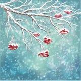 Zimy rowan jagody gałąź śnieżysty tło Zdjęcia Royalty Free