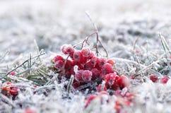 Zimy rowanberry fotografia royalty free