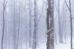 Zimy sceneria w lesie z brzozy mgłą i drzewami Fotografia Royalty Free