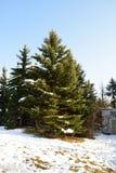 Zimy sosna Fotografia Stock