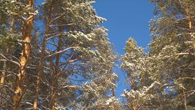 Zimy sosna zakrywał śnieg na niebieskiego nieba tle w lesie przy słonecznym dniem zbiory wideo