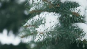 Zimy sosny gałąź, płatek śniegu na gałąź, świerczyna opuszcza z wodnymi kroplami w górę Piękny naturalny widok z zbiory