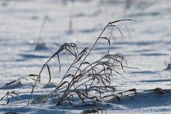 Zimy trawa Zginać z delikatnym popiółem zdjęcie stock